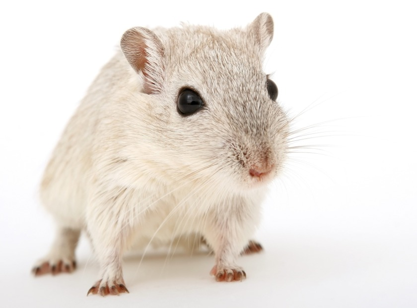 an image of a small white mouse standing on a white background