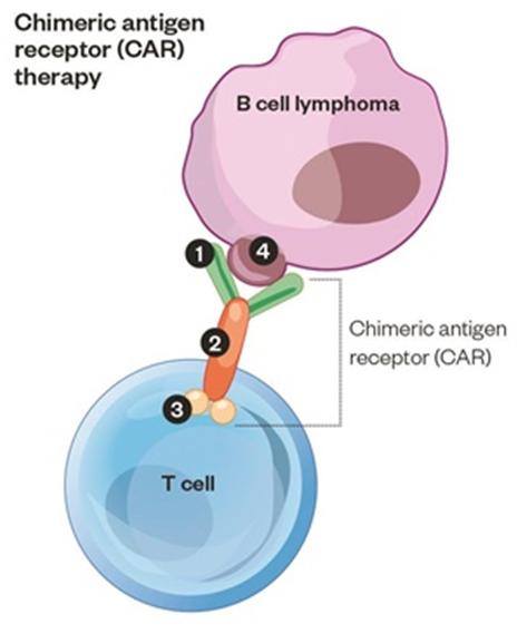 B cell lymphoma cell is recognised by a T cell which has a CAR protein expressed on it